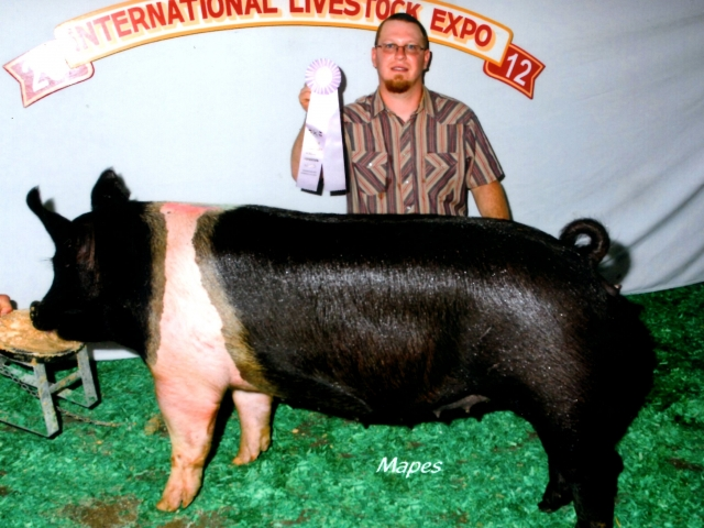Reserve Champion Hampsire gilt 2012 KILE
